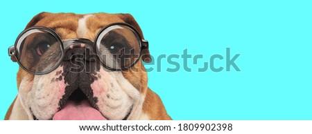 nerdy young English Bulldog dog panting, sitting and wearing eyeglasses on blue background