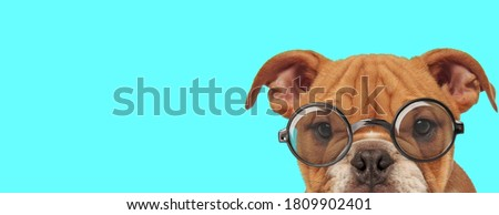 nerdy adorable English Bulldog dog with only half of face exposed, wearing eyeglasses on blue background