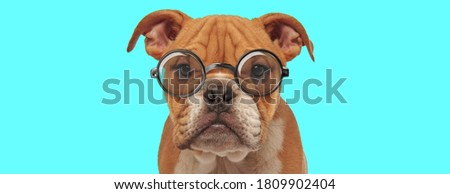 nerdy cute English Bulldog dog sitting, wearing eyeglasses and looking at camera on blue background