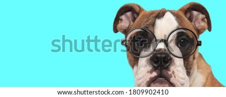 funny nerdy English Bulldog dog wearing eyeglasses, sitting with no occupation on blue background