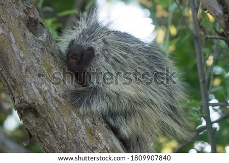 Porcupine on tree in the woods