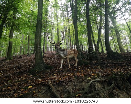 Fallow deer in forest. Close up picture of deer animal.