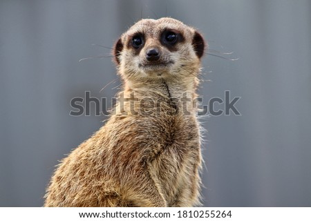 Meerkat at Wildlife Park in Devon