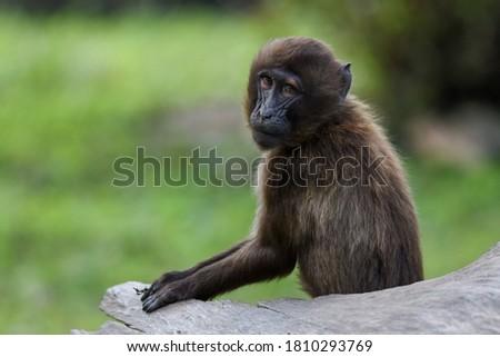 Portrait of young monkey Gelada Baboons (Theropithecus gelada).