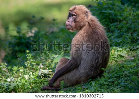 Portrait of monkey Gelada Baboons (Theropithecus gelada).