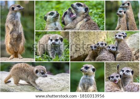 A collage of photos  Meerkat Suricata suricatta