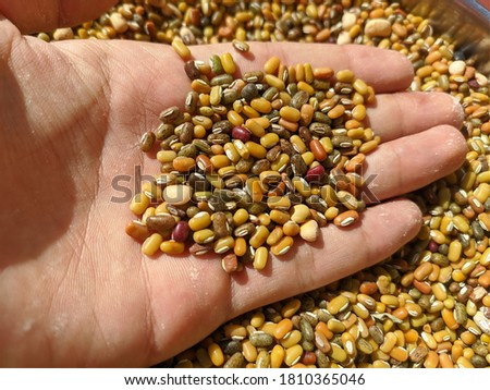 uttarakhand,india-3 june 2020:moong indian pulses in hand.this is a picture of moong pulses in bright sun light.these are kept in sun light to dry.split green gram.