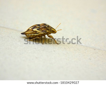 Colorful and striped bedbug insect