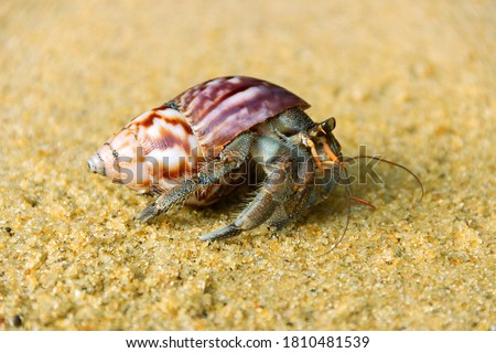 Hermit or diogenes crab in a beautiful gastropod shell as dwelling with water. Posibly from genus Coenobita Royalty-Free Stock Photo #1810481539