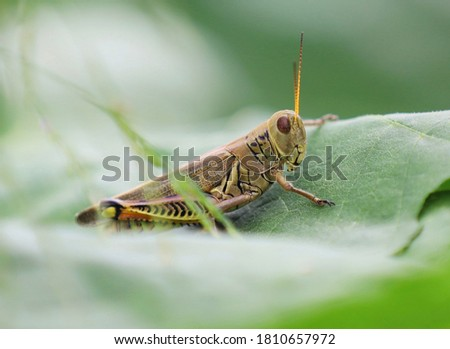 This is a picture of a grasshopper on a leaf