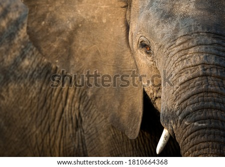 A close up portrait of an African Elephant face and skin texture in golden light, Greater Kruger National Park, South Africa Royalty-Free Stock Photo #1810664368
