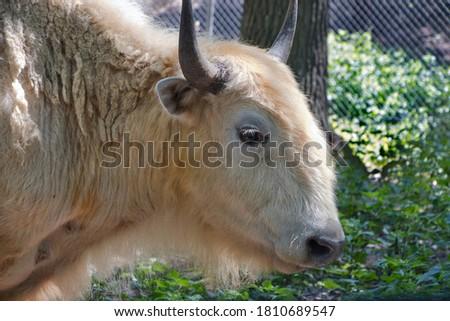 Profile head of white American bison. #1810689547