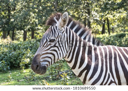 profile image of zebra with green tree background. #1810689550