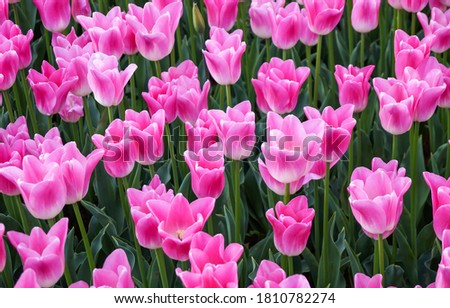 Pink tulips flowers close up. Tulips. Pink tulip flowers view. Pink tulips