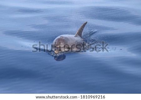 Bottlenose dolphin (Tursiops truncatus). Picture taken during a whale watching trip in the south of Tenerife, Spain