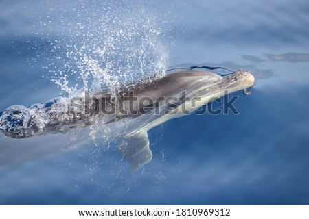Bottlenose dolphin (Tursiops truncatus) starting to breath close tu the surface. Picture taken during a whale watching trip in the south of Tenerife, Spain