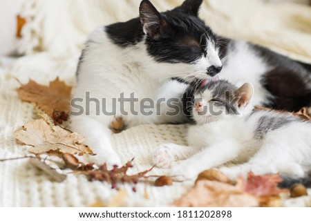 Mother cat cleaning her baby kitty in fall decorations on comfy blanket in room. Motherhood. Autumn cozy mood. Cute cat grooming little kitten on soft bed in autumn leaves. Royalty-Free Stock Photo #1811202898