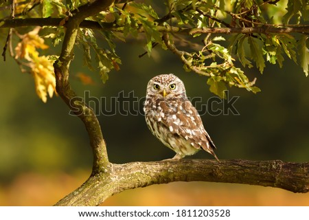 Close up of a Little Owl (Athene noctua) perched on a branch in a tree, autumn in UK. Royalty-Free Stock Photo #1811203528