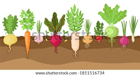 Planted vegetables. Cartoon root growing vegetables, veggies fibrous root system, soil vegetable root structure vector illustration set. Fresh organic healthy food growing, farming #1811516734