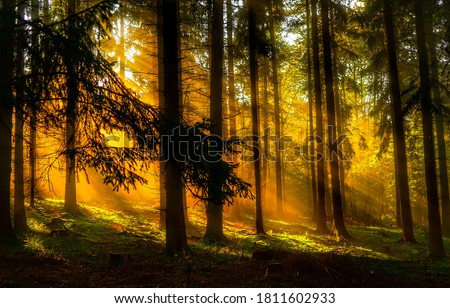 Sunset sunbeams in deep wilderness forest. Forest sunbeams at sunset. Sunset in forest. Forest sunbeams sunset #1811602933