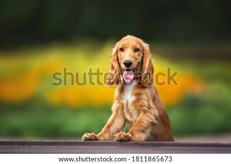 happy red cocker spaniel puppy posing in summer with paws on a bench Royalty-Free Stock Photo #1811865673