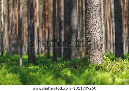 Background pine forest with green lush blueberry grass. Focus in foreground, blurred background. #1811909260