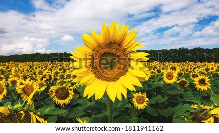 Sunflower on the background of a field with sunflowers. Texture for designers.