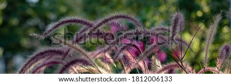 Horizontal banner of Pennisetum, purple ornamental grasses, constantly moving in the wind, each plume highlighted by the light of the golden hour  Royalty-Free Stock Photo #1812006133