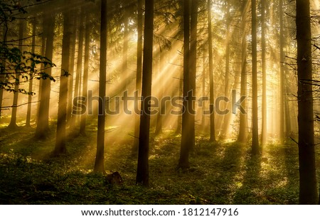 Forest trees sunbeams in morning. Sunrise sunbeams in forest. Forest sunrise sunbeans. Morning in forest Royalty-Free Stock Photo #1812147916