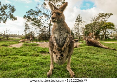Kangaroo in Melbourne with blue sky