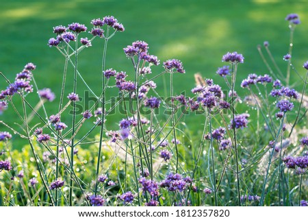 A selective focus of pretty verbena bonariensis (purpletop vervain, tall verbena, Argentinian vervain) in the morning dew. Cultivated as an ornamental plant for decorative purposes in garden and park  #1812357820