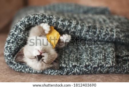 Autumn, Fall. Kitten sleep on knitted plaid. Little cut cat at home Royalty-Free Stock Photo #1812403690