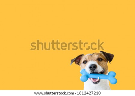 Happy pet dog holding in mouth blue toy bone against solid colour yellow background Royalty-Free Stock Photo #1812427210