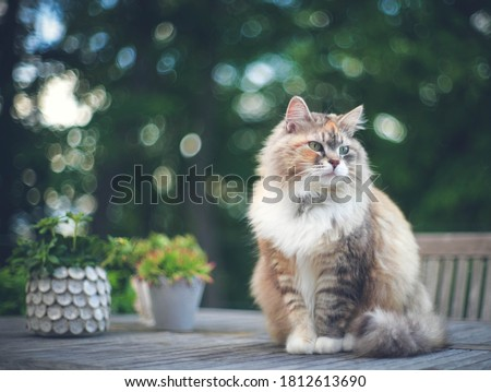 Tabby cat sitting on the table in the yard. Pet enjoing being outside. Cute cat relaxing outdoor. Wonderful mood. Siberian race. Royalty-Free Stock Photo #1812613690