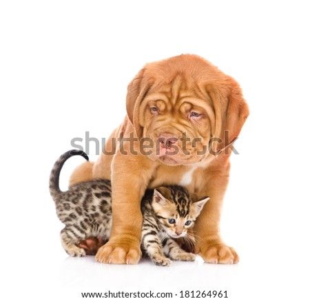 Bordeaux puppy dog and bengal kitten together. isolated on white background #181264961
