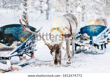 Reindeer safari in a winter forest in Finnish Lapland Royalty-Free Stock Photo #1812674773