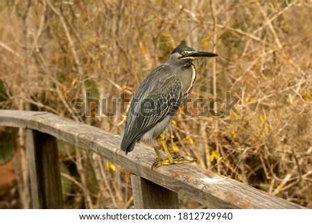 Striated heron,mangrove heron, little heron, green-backed heron, (Butorides striata). #1812729940