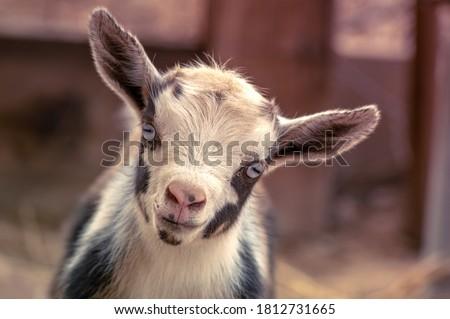 Newborn Nigerian Dwarf goat kid looking into camera adorably.