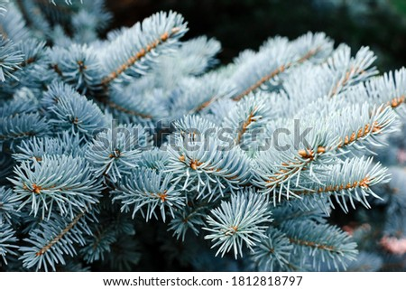 Blue spruce background. Coniferous tree. Nature, Christmas, New Year, seasonal concept. Selective focus. Royalty-Free Stock Photo #1812818797