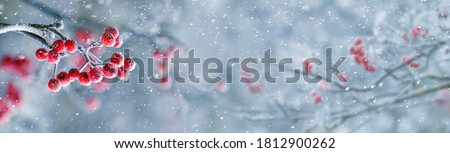 Red berries of mountain ash on a tree in winter during a snowfall, panorama