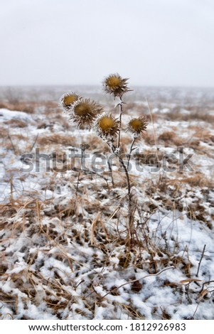 Snow-covered Prairie, dry grass. Picture of winter dying and only Thistle stands in its prickly grandeur. Bristlethistle (Carduus), emblem of Scotland. Biblical concept of abomination of desolation