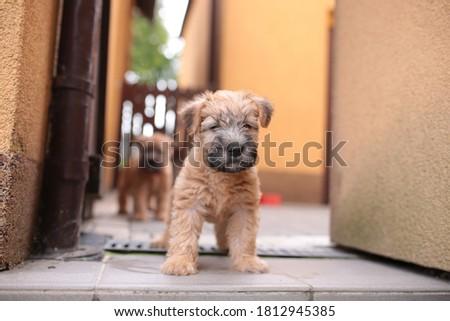 Irish soft coated wheaten terrier puppy Royalty-Free Stock Photo #1812945385