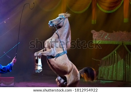 Rampant circus mustang horse during the show