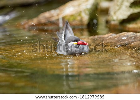 Close up Inca tern, Larosterna inca, dark grey sea bird with the white moustache and red beak, native to Peru and Chile. Bird swim in the water, low angle photography. #1812979585