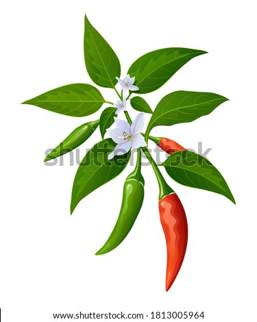 Chili peppers red and green fresh with leaves and flower chili realistic design, isolated on white background, Eps 10 vector illustration Royalty-Free Stock Photo #1813005964