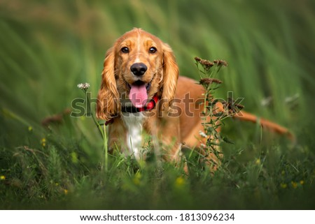 happy red cocker spaniel puppy portrait outdoors in summer Royalty-Free Stock Photo #1813096234