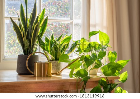 A sansevieria trifasciata snake plant in the window of a modern home or apartment interior. Royalty-Free Stock Photo #1813119916