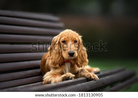 english cocker spaniel puppy lying down on a bench Royalty-Free Stock Photo #1813130905