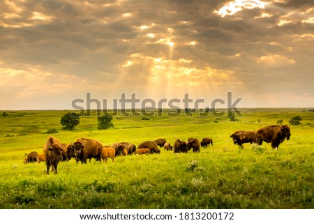 These impressive American Bison wander the Kansas Maxwell Prairie Preserve.  Royalty-Free Stock Photo #1813200172