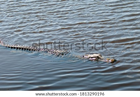 Alligator Swimming in Florida Lake